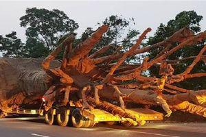 Xe chở cây khủng như 'quái thú' trên Quốc lộ 1A bị phạt hơn 80 triệu đồng
