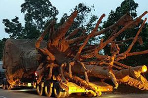 Chở cây 'khủng' bị phạt 81,7 triệu đồng