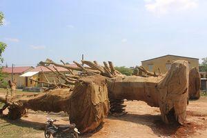 Gốc cây 'khủng' như quái thú vi vu trên quốc lộ: Lực lượng kiểm lâm lên tiếng