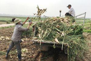 Huyện Mê Linh: Không còn củ cải tồn đọng sau vụ rớt giá