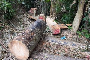 Quảng Nam: 'Máu' rừng lại đổ