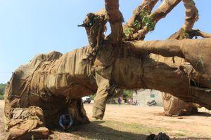 Lộ nguồn gốc cây khổng lồ được di chuyển trên quốc lộ 1