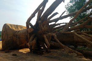 Bị phạt 82 triệu đồng, chủ phương tiện bỏ lại 3 cây cổ thụ 'khủng'