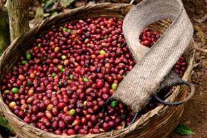 Giá nông sản hôm nay 3/4: Giá tiêu giảm, nông dân hoãn bán ra, giá cà phê đứng yên