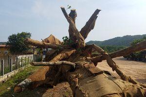 Vụ 'vận chuyển 3 cây cổ thụ khổng lồ': Chủ cây đã đến làm việc với kiểm lâm