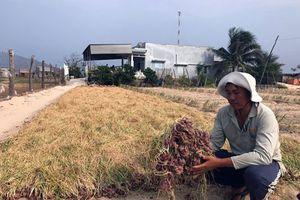 'Thủ phủ' hành, tỏi Ninh Thuận khốn đốn