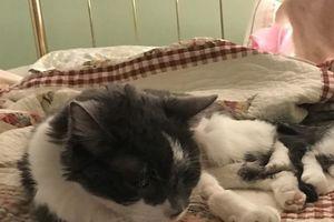 Chi hơn 400 triệu để ghép thận cứu sống mèo cưng