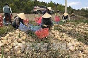 Hành tây Đà Lạt được mùa, giá giảm kỷ lục