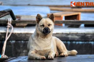 Ảnh về những chú chó cả đời lênh đênh trên sông nước Việt Nam