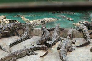 Từ người thất nghiệp thành chủ trang trại cá sấu tiền tỉ ở Sài Gòn