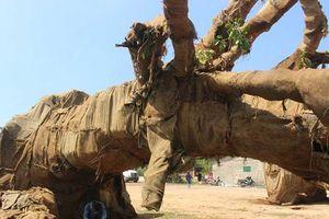 Lộ nguồn gốc cây 'khủng' được chở trên quốc lộ 1