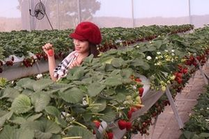 Thòm thèm với vườn dâu tây Mỹ ở Đà Lạt