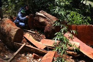 Phá rừng Quảng Nam: Đình chỉ nhiều cán bộ, khởi tố hàng loạt bị can