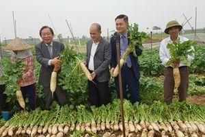 DN Việt - Hàn bắt tay xây dựng nhà máy chế biến củ cải tại Hải Dương