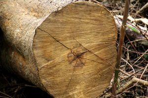 Liên tiếp xảy ra phá rừng, 6 kiểm lâm bị đình chỉ công tác