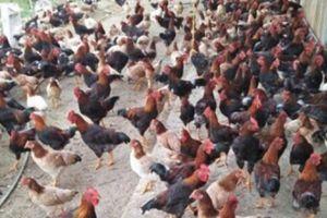 Tuân 'Nùng' giúp cả thôn làm giàu từ chăn nuôi gà thả đồi