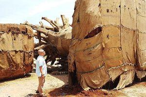Cục Kiểm lâm chỉ đạo truy tận gốc cây 'kỳ quái' bị giữ ở Huế
