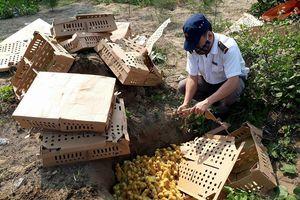 Diễn Châu tiêu hủy 1.500 con gia cầm không rõ nguồn gốc xuất xứ