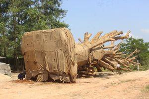 Thông tin bất ngờ về cây khủng như 'quái thú' ở Huế