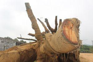 'Sức khỏe' 3 cây khủng như…quái thú ra sao sau tuần lễ bị giữ?