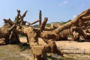 Chủ 3 cây đa khổng lồ khai gì với công an?
