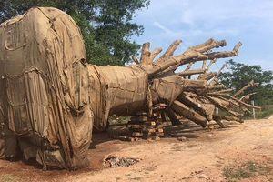 Tiếp tục làm rõ nguồn gốc 3 cây cổ thụ bị tạm giữ