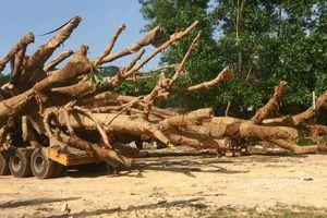 Xác minh hồ sơ 3 cây 'quái thú': Kiểm tra trách nhiệm Phó Chủ tịch xã 'ký bừa'