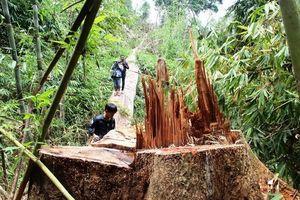 Quảng Nam: Khẩn trương xác minh rừng đặc dụng Sông Thanh bị tàn phá