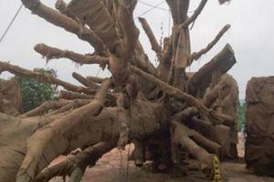 Kiểm lâm TT-Huế trả lại 2/3 cây 'quái thú' cho chủ sở hữu