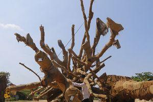 Vì sao kiểm lâm Huế 'thả' hai cây cổ thụ khổng lồ?