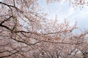 Đi ngay lúc này kẻo lỡ mùa hoa anh đào Hàn Quốc