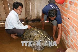 Từ chối bán với giá 150 triệu đồng để thả rùa biển khoảng 200 kg về tự nhiên