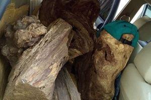 Xe bán tải vận chuyển gỗ bách xanh lậu