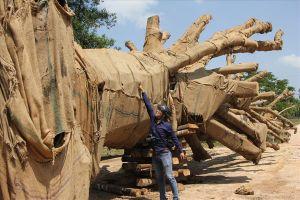 Vụ 3 cây cổ thụ khủng bị bắt giữ: Trả lại 2 cây cho chủ sở hữu