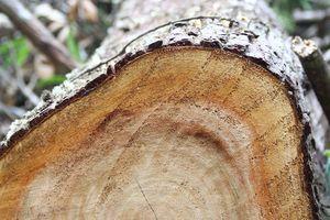 Kiểm tra thông tin vụ phá rừng quy mô lớn