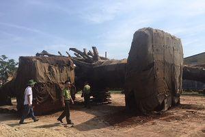 Đã xác định được nguồn gốc 2 cây 'khủng' đang bị tạm giữ