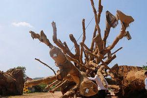 Lộ nguồn gốc cây cổ thụ thứ 3 đang bị 'tạm giam'