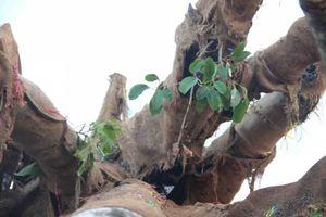 Vụ vận chuyển 3 cây gỗ 'khủng': Kiểm lâm đã trả lại 2 cây