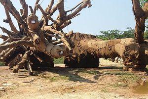 Lý do gì phải canh giữ 24/24 cây cổ thụ 'khủng' thứ ba?