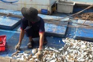 Cá chết ở Quảng Trị không phải do độc tố
