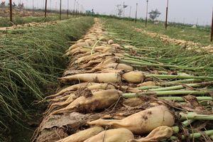 Thu mua 1.500 tấn củ cải cho nông dân xã Tráng Việt