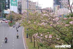 Ngẩn ngơ với vẻ đẹp mùa hoa Kèn hồng ở Sài Gòn