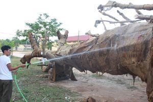 Chủ sở hữu cây 'quái thú' bị phạt 750.000, nhận lại cây
