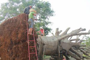Nộp phạt 750.000 đồng, chủ hàng được nhận lại cây 'quái thú' cuối cùng