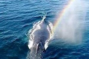 Cá voi lưng gù phun nước tạo cầu vồng ngoạn mục