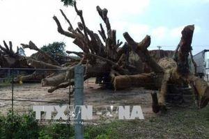 Phạt tiền và trả lại cây đa sộp thứ 3 bị bắt giữ ở Thừa Thiên - Huế cho chủ sở hữu