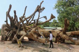 Chủ 3 cây đa khổng lồ bị phạt 750.000 đồng