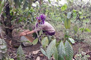 Tiếp tục dừng hoạt động mỏ đá làm ảnh hưởng vườn cà phê, chờ giải quyết bồi thường
