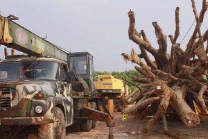 Vụ 3 cây 'khủng': Phạt chủ sở hữu 750.000 đồng, cho vận chuyển cây ra Hà Nội