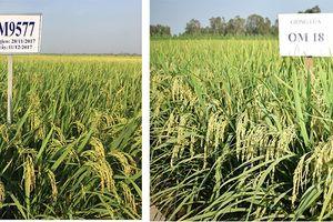 Thương mại hóa 2 giống lúa chịu mặn 4‰